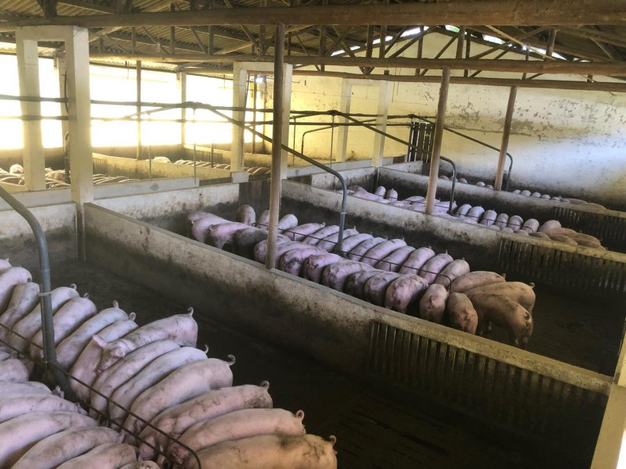 Emerson Slomka examines the dangers of factory farms.